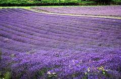 The Power of Purple. (pstone646) Tags: lavender flowers flora field landscape nature purple plants kent rows beauty