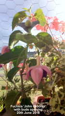 Fuchsia 'John Grooms' with buds opening 20th June 2018 (D@viD_2.011) Tags: fuchsia john grooms with buds opening 20th june 2018