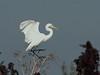 Great Egret 01-20180620 (Kenneth Cole Schneider) Tags: florida miramar westmiramarwca