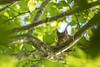 Ecureuil roux (Richard Holding) Tags: animal m43 nature olympus omd rongeur squirrel wildlife écureuil écureuilroux