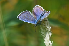 silver-studded blue (briangriffiths673) Tags: silver studded blue butterfly
