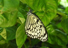 Rice paper kite butterfly (NaturewithMar) Tags: rice paper kite butterfly 7dwf wednesday macro closeup