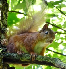 Red Squirrel (chdphd) Tags: sciurusvulgaris sciurus redsquirrel squirrel aberdeenshire aberdeen seatonpark
