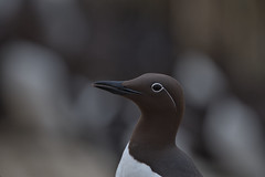 Bridled Guillemot (steveellis35) Tags: bridled guillemot uria aalge auks seabird farne islands spectacles feathers bill eye ring
