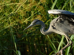Heron (LouisaHocking) Tags: heron forest farm cardiff south wales british bird nature wild wildlife