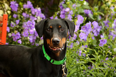 Rescue Dog Osa (Richard L. Probst) Tags: doberman rottweiler black dog dobbie rotty big park play happy sweet time canine photography