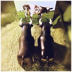 Two guys for a Lady (Renato Morselli) Tags: twins bull gemelli gemini toro animale mucca animali toys gomma plastica flickrfriday pinkfloyd frisona album atomheartmother