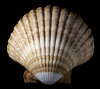 A Scallop Shell In The Light (Bill Gracey 19 Million Views) Tags: seashell shell offcameraflash homestudio scallop blackbackground perspex tabletopphotography macrolens yongnuo yongnuorf603n sidelighting shapes shadows textures nature naturalbeauty scallopshell