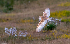 Low Flying Barn Owl (Steve (Hooky) Waddingham) Tags: bird british barn wild wildlife countryside coast nature northumberland prey voles mice