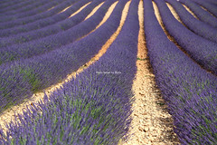 IMG_4118 (肉拉) Tags: valensole lavender france provence