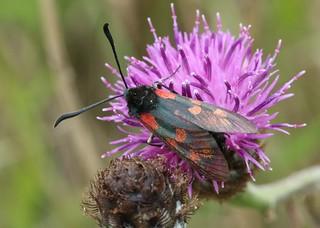 cf six spot burnet Zygaena filipendulae zygaenidae