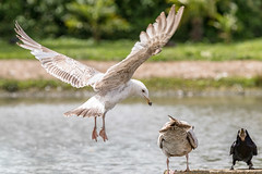 Budge Over!! (kitwilliams91) Tags: gull slimbridge canon