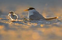 Least tern (suraj.ramamurthy) Tags: nikkor500mm nikond500 leasttern longislandbeaches
