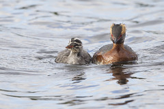 Slavonian Grebe with youngster (JaneTurner68) Tags: slavoniangrebe grebe hornedgrebe youngster young feeding loch scottishhighlands scotland canon1dmkiv canon600mmf4lens canon