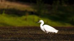 Little Egret (Unintended_Keith) Tags: littleegret villagepond hurst wildlife nature white bird heron canon1dx sigma150600mms
