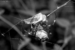 (Célio Moura Neto) Tags: biologocelio canon sx60 sx60hs fotonaturalismo biologo biologia natureza ecologia vidaselvagem wildlife wildlifephotography nature photography biology ecology arthropoda chelicerata arachnida araneae araneomorphae araneidae argiope argentata argiopeargentata aranha spider