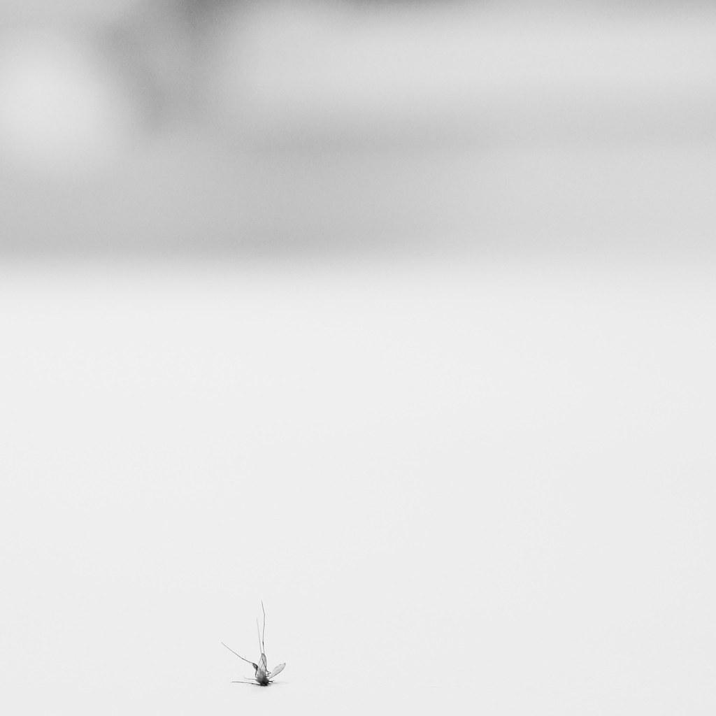 Zanzara gigante yahoo dating