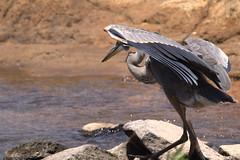 Loosing balance (Bird-guy) Tags: greatblueheron heron ardeaherodias lakepeachtree peachtreecitygeorgia bird