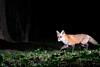 Red Fox (adbecks) Tags: strobist red fox camera trap camtraptions d3300 kit lens