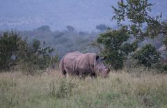 Rhinocéros blanc, parc national Kruger / White rhinoceros, Kruger National Park (b-noy) Tags: kruger parcnational southafrica nationalpark wildlife animal whiterhinoceros rhinoceros rhinocérosblanc rhinocéros