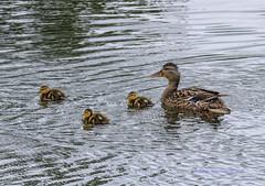 _DSI9704 (jirvingw) Tags: ducklings
