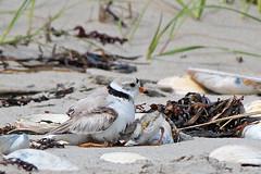 I'm coming in! (cheryl.rose83) Tags: pipingplover plover chicks beach horseneckbeach