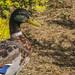 #PelsCamins de Benaura (II) | Ànec collverd del Reguer