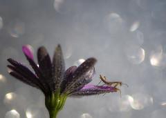 Mantis (Nikko  Thanks +500.000 view) Tags: mantis bokeh daisy pink wet drops june little macro nikon nikkor