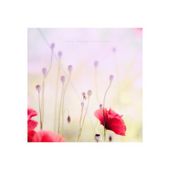 """""""Whispers..."""" (Ilargia64) Tags: poppy flower red pink blue softcolors bokeh nature silence whispers amayasanchez forest field spring"""