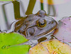 Invasion. (Omygodtom) Tags: bullfrog reptile tamron water pond nature flickriver explorer wildlife urbunnature usgs dof d7100 digital 7dwf