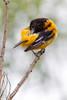 Baltimore Oriole_53F9902 (~ Michaela Sagatova ~) Tags: dundasvalley baltimoreoriole birdphotography canonphotography michaelasagatova oriole