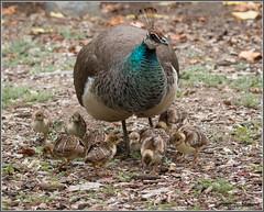 Peafoul Family 0965 (maguire33@verizon.net) Tags: indianpeafowl losangelescountyarboretum peafowl bird chick parenthood peachick peahen pheasant wildlife arcadia california unitedstates us