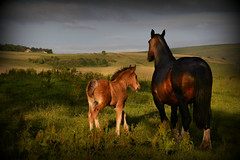 Shire mother and son (PentlandPirate of the North) Tags: shire horse foal colt mare draught chestnut