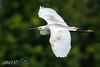 Little egret-Egretta garzetta-3444 (George Vittman) Tags: bird heron egret little flight white nikonpassion wildlifephotography jav61photography jav61 fantasticnature