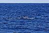 _MG_9153_DxO (carrolldeweese) Tags: kona hawaii kailuakoha kailua whale