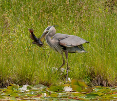Great Blue Heron with Catfish (gerilynns) Tags: greatblueheron maine fishing hunting catfish elegant feathers weeds lilypond green white gray