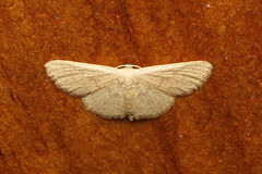 Geometridae sp. (Moth) - Seychelles (Nick Dean1) Tags: animalia arthropoda arthropod hexapoda hexapod insect insecta lepidoptera moth seychelles birdisland indianocean