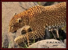 LEOPARD (Panthera pardus) ...MASAI MARA.....SEPT 2017 (M Z Malik) Tags: nikon d3x 200400mm14afs kenya africa safari wildlife masaimara keekoroklodge exoticafricanwildlife exoticafricancats flickrbigcats leopard pantheraparduc ngc