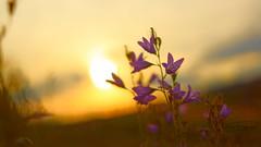 campanula ad vesperam (Veitinger) Tags: flower flowers blume blumen lila violet sonne sun sundown sunset abends abend evening pentacon sony veitinger nazur nature pflanze plant bokeh