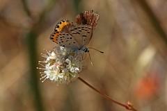 Acmon Blue on Buckwheat (edward_rooks) Tags: sierraazulopenspacepreserve bald mountain mount umunhum insects wildflowers butterflies bees wasps assassin bug