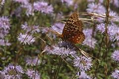 IMG_4544 (edward_rooks) Tags: sierraazulopenspacepreserve bald mountain mount umunhum insects wildflowers butterflies bees wasps assassin bug
