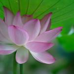 荷花 (Lotus): Sony A7R II / Sony FE 70-300mm F4.5-5.6 G OSS thumbnail