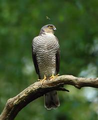 1S9A5206 (saundersfay) Tags: prey raptor sparrowhawk talons tree