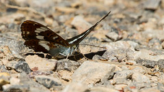 White Admiral Butterfly (Limenitis camilla) (BiteYourBum.Com Photography) Tags: dawnandjim dawnjim biteyourbum biteyourbumcom copyright©2018biteyourbumcom copyright©biteyourbumcom allrightsreserved canoneos7d canonefs60mmf28macrousm canonmacrotwinlitemt26exrt sigma50500mmf4563dgoshsm canonef1740mmf4lusm apple imac5k lightroom6 ipadair appleipadair camranger zerenestacker focusstacking polaroidautofocusdgmacroextensiontubes manfrotto055cxpro3tripod manfrotto804rc2pantilthead loweproprorunner350aw uk unitedkingdom gb greatbritain england surrey butterflyconservationsurreysouthwestlondonbranch surreyandsouthlondonbutterflyconservationtrust chiddingfold chiddingfoldforest oakenwood oakenwoodbutterflyreserve whiteadmiral butterfly limenitis camilla whiteadmiralbutterfly limenitiscamilla