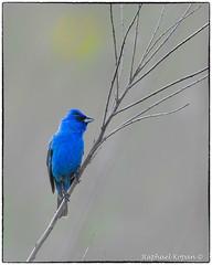 Indigo bunting (RKop) Tags: armlederpark cincinnati ohio raphaelkopanphotography nikon nikkor600f4evr 14xtciii handheld wildlife