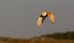 Barn Owl At Sunset (Steve (Hooky) Waddingham) Tags: stevenwaddinghamphotography bird british barn wild wildlife countryside coast nature northumberland prey voles mice owl