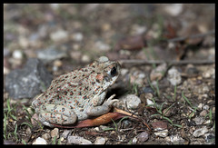 _O6A4641 Red Spotted Toad ©Dancing Snake Nature Photography (Dancing Snake Nature Photography) Tags: arizona nature photography dancingsnakenaturephotography redspottedtoad sabinocanyon