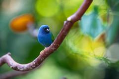 Waxbill at Bloedel Conservatory (Ben-ah) Tags: finch waxbill bluecappedcordonbleu bloedelconservatory bc vancouver canada bird