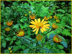 Golden Flowers (JulieK (thanks for 7 million views)) Tags: senecioaquaticus marshragwort wildflower tinternwoods sliderssunday topazglow postprocessed flora wexford ireland irish woodland green flowers yellow bright hss canonixus170