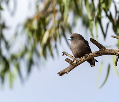 Dusky Woodswallow - Artamus cyanopterus (Trace Connolly Photography) Tags: australia natur natura natural nature naturaleza naturephotography colour color colourful outdoor outdoors outside eos canon fauna sunlight exposure animal flickr environment environmental environmentalphotography contrast dusk dusky swallow duskywoodswallow
